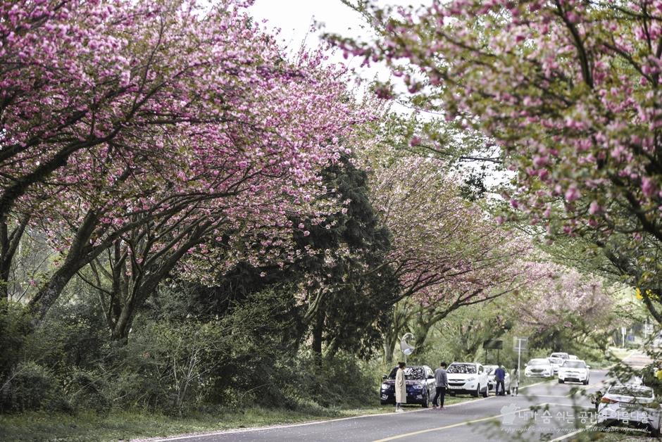 [제주 겹벚꽃 명소] 벚꽃이 사라진 제주의 핑크빛 물결