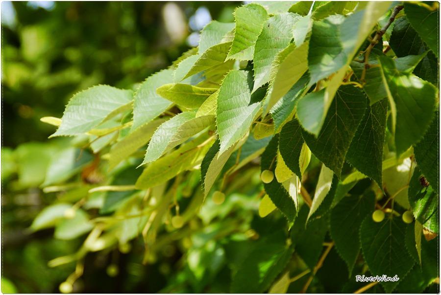 보리수(Ficus religiosa).