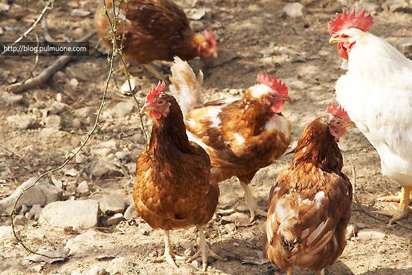 당신이 '닭'에 대해 몰랐던 것들…닭도 날 수 있다?!